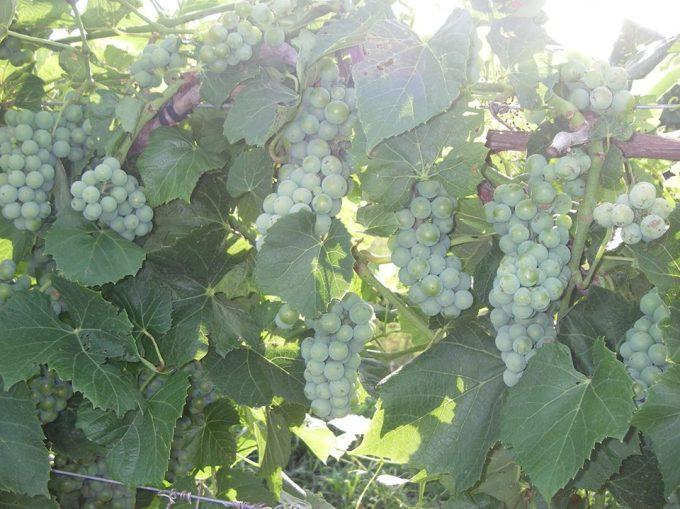 Brianna grapes photo